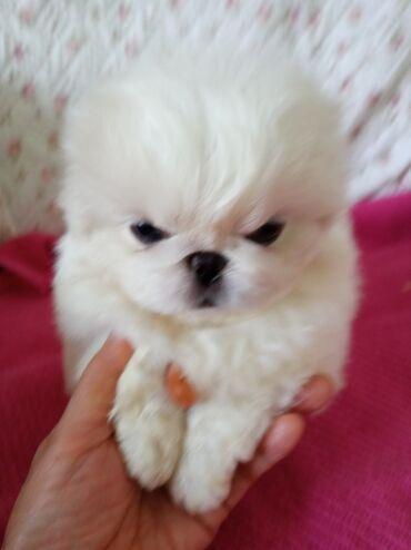 3772 объявлений: Белоснежные щенки императорского пекинеса две девочки и мальчик