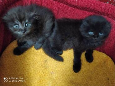 Продаю шотландских вислоухих котят мальчик и девочка по 2 месяца