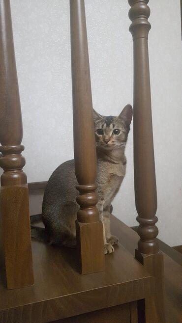 индюки биг 6 цена в Кыргызстан: Продаю котенка абисинской породы. Девочка 6 месяцев. Очень ласковая