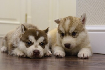 A beautiful Siberian Husky puppies are looking for a new parents! Our σε Athens