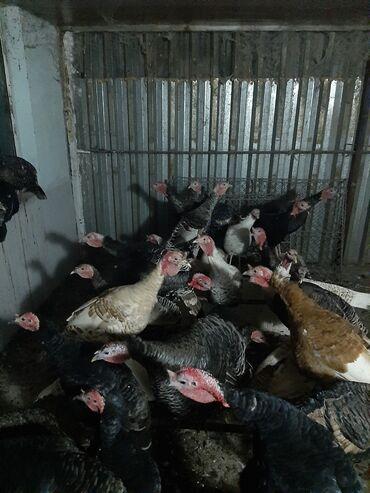 - Azərbaycan: Hind quşu satılır 36ədəd,fərələr 3.500 və 3.700 kq, 4 kg olanıda var