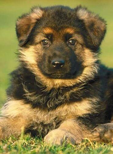 купить для собаки в Кыргызстан: Куплю щенка немецкой овчарки. Есть вальер и будка. Был опыт с