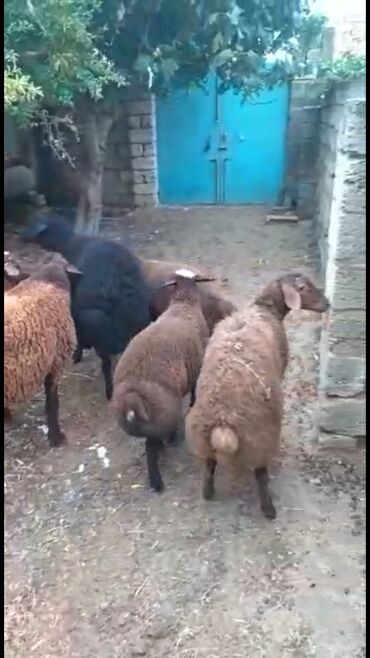quzular - Azərbaycan: Quzular. Tam saglam damazliq qala cinsi quzulardir. Istiyen gelib