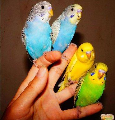 Птицы в Кыргызстан: Волнистые попугаи успейте купить! звонить на телефон, лалафо чат не от