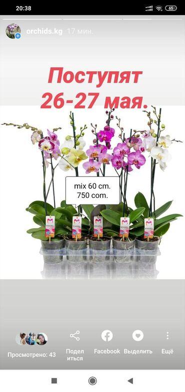 Орхидеи в Бишкеке