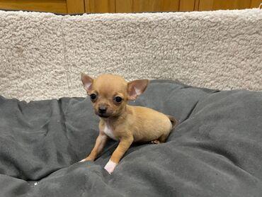 Έχουμε διαθέσιμα αρσενικά και θηλυκά κουτάβια Chihuahua για