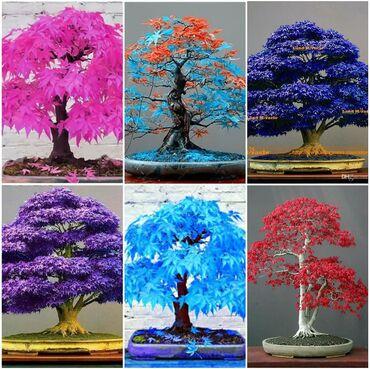 Semena | Arandjelovac: Razna semenaJagoda,japanske tresnje,begonija,harizantema,japanski