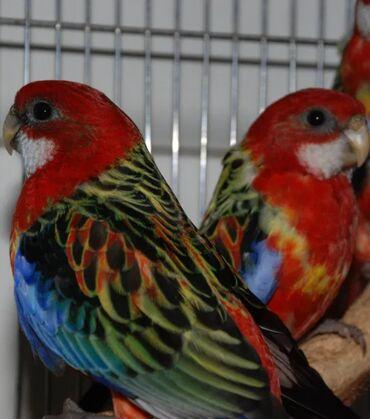 Птицы - Кыргызстан: Попугаи красные разеллы очень красивые хорошо приручаются к рукам. Так