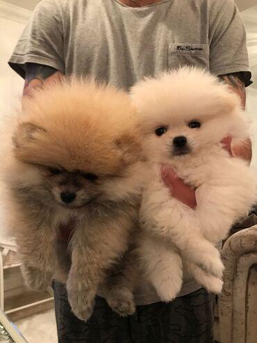 Κορυφαία ποιότητα εγγεγραμμένα Pomeranian για επανένταξη.Εγγεγραμμένος