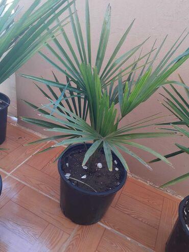 Otaq bitkiləri - Azərbaycan: Satisda palmalar, her sayda 13 manata elave akaciya gulleri de var