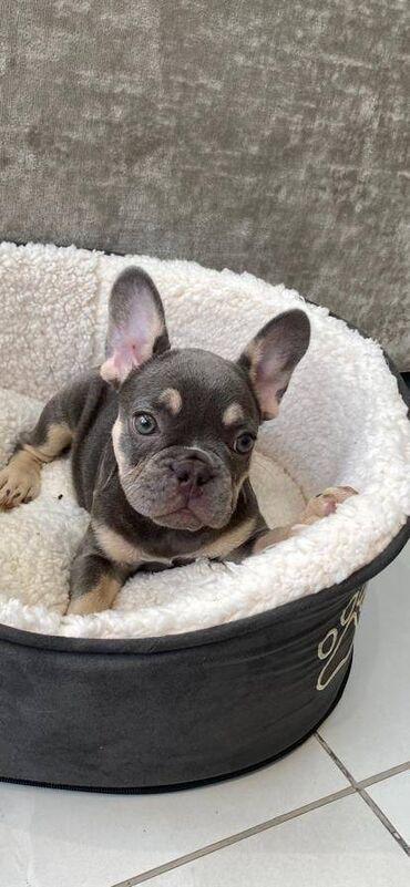 Γαλλικό μπουλντόγκΈχουμε 6 κουτάβια σκυλιών frenchbullΛιλά ελαφάκι