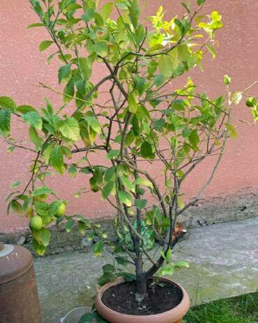 Лимоны - Кыргызстан: Лимонное дерево, грунт хороший меняли периодически, взрослое, большое