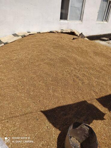 Животные - Чат Кёль: Продаю пшеница 27