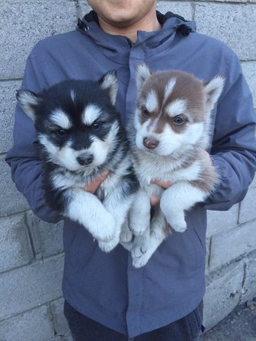 акустические системы rs колонка в виде собак в Кыргызстан: Продаю щенят сибирской хаски Дата рождения 04.03С документамиДо