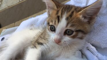 pisik-satisi - Azərbaycan: Sotland qarisiq 4 pisik balalari Tecili ucuz qiymete satilir