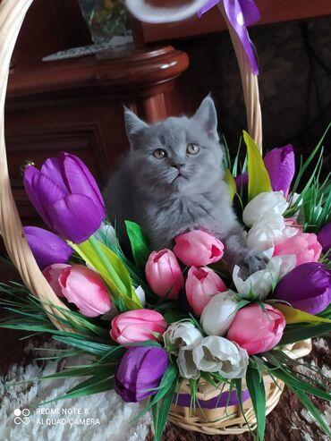 британский короткошерстный котенок в Кыргызстан: Готов к продаже чистокровный британский кароткошерстный мальчик голуб