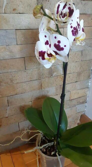 Kuća i bašta - Veliko Gradiste: Orhideje vise boja