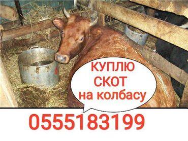 С/х животные - Кыргызстан: КУПЛЮ СКОТ В КОЛБАСНЫЙ ЦЕХ В ЛЮБОЕ ВРЕМЯ СУТОК  ПО МАКСИМАЛЬНОЙ ЦЕНЕ