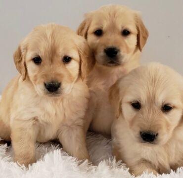 Για σκύλους - Αθήνα: Labrador retriever puppies available Potty trained, vaccinated and