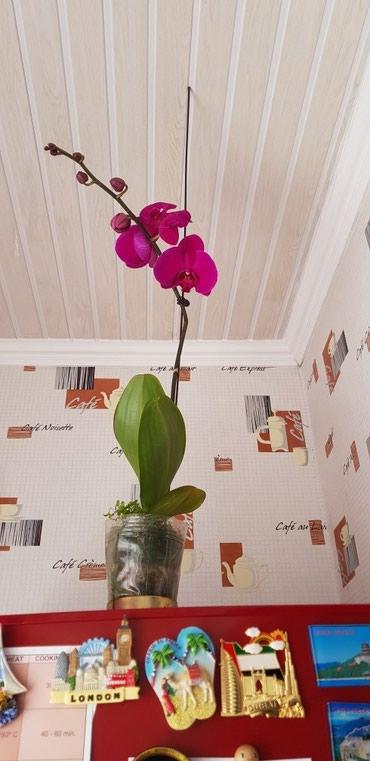 цветы пеларгонии в Кыргызстан: Цветы