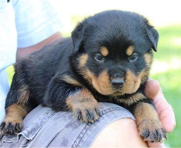 Κουτάβια Rottweiler έτοιμα προς πώλησηΤα κουτάβια μεγάλωσαν σε ένα