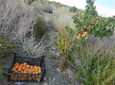 Делаю поставки абрикоса в ЕАЭС. Сорт краснощёкий. От 22 тонн и выше