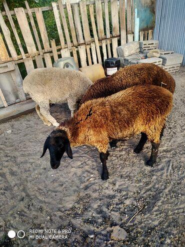Животные - Луговое: Продаю баран