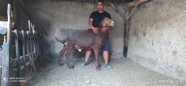 С/х животные - Кара-Суу: Арашан порода кочкорлор сатылат урука 2 жаш рост 98