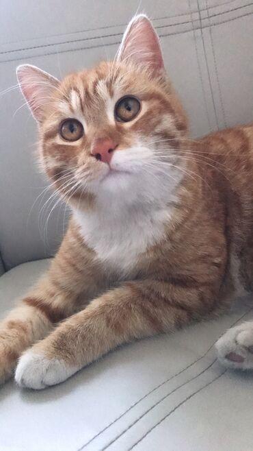 Коты - Кыргызстан: Одам кота в хорошие руки, мальчик 1 год, не могу себе оставить, обстоя