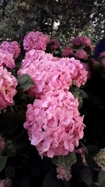 Семена и уличные растения - Кара-Балта: Розовая гортензия кусты от 1200 до 2500 сом в г.Кара-Балта