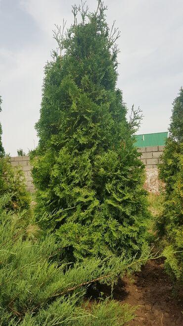 Семена и уличные растения - Кыргызстан: Колоновидная туя 2 штуки: Рост - 2.5 Цена договорная