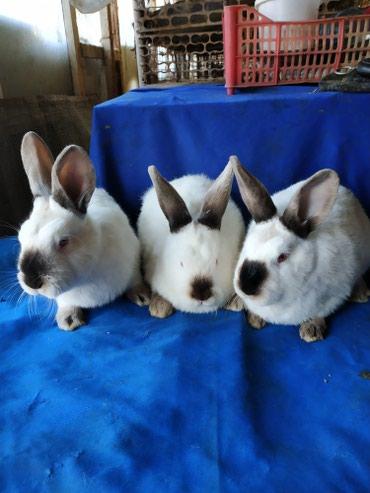 Крольчата 2,5мес.порода Калифорния. чистокровные. в Кок-Ой