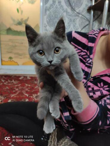 Животные - Милянфан: Продаю: шотландского котенка скотиш страйк 5 месяцев (девочка)