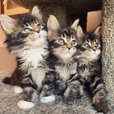 Διαθέσιμα γατάκια Maine Coon whatsapp μου στο + για περισσότερες