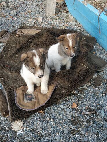 диплом в Кыргызстан: Продаются щенки лайки. Сучки. Цена 5000. Родители рабочие
