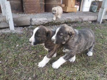 Продаю щенки Алабая. в Лебединовка