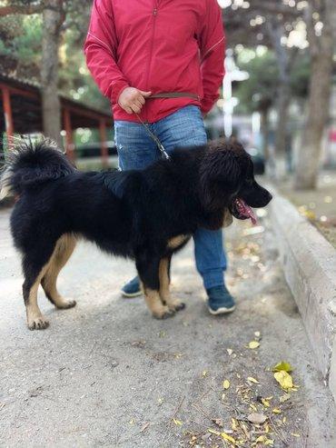 Bakı şəhərində 11 ayliq diwi tibet mastifi. Tecili satilir, butun senedleri var.
