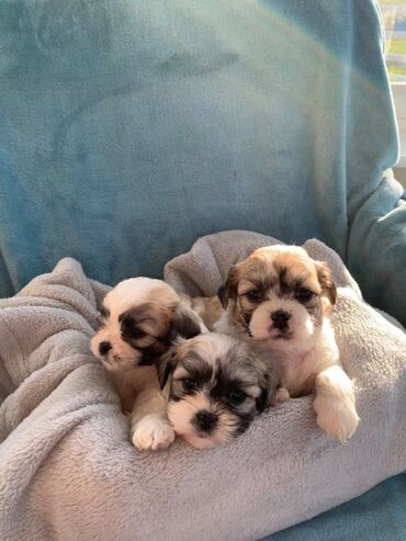 Shih Tzu puppies for sale  WhatsApp me + 32 we have male and female Sh