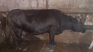 102 elan | DIGƏR HEYVANLAR: Etlik inek baki malidi diri cekiynende verirem 3 manat etnende verer