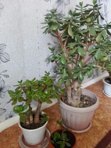 """Комнатные цветы """"Денежное дерево"""",для в Бишкек"""