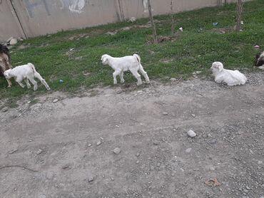 Продаю | Коза (самка), Козёл (самец) | Нубийская | Для молока