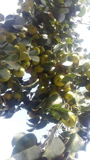 Дом и сад - Базар-Коргон: Алмурут сатылат оптом баада, жалпы 16 түп бак. Баасы келишим мн. Сентя