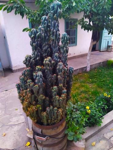 Продам огромный шикарный кактус!   в Джалал-Абад