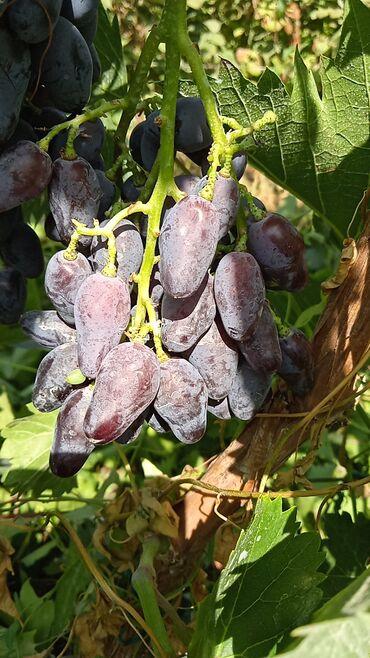 184 объявлений: Продаю саженцы винограда сорт память негруля