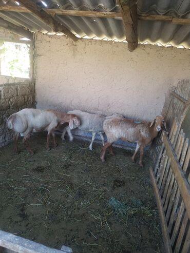 Животные - Кара-Балта: Сатылат козу кочкор эки токту