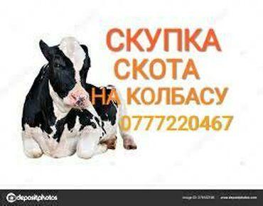 вакцины для животных в Кыргызстан: Куплю | Коровы, быки, Лошади, кони | На забой, на мясо