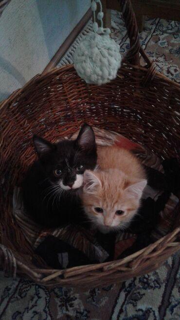 Ищем дом для котят, возраст 2,5-3 месяца. 2 девочки и черно-белый маль