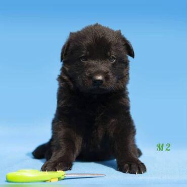 Черные щенки Немецкой овчарки.Предлагаются для резервирования щенки