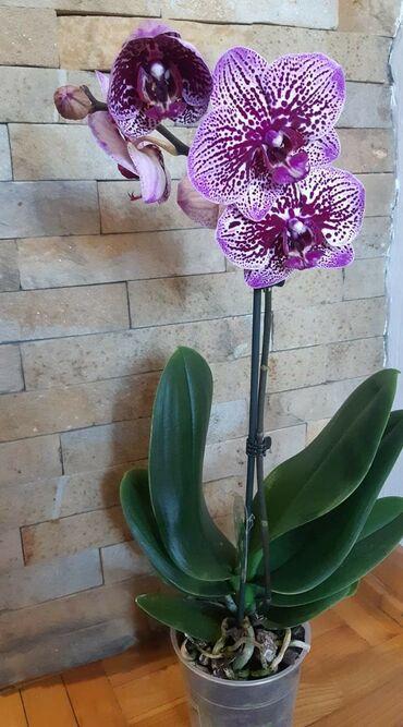 Kuća i bašta - Veliko Gradiste: Orhideje snizene 1200 . poslednji primerci