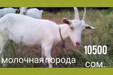 Продаю молодых козочек молочной породы в Кант